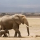 An African elephant with baby