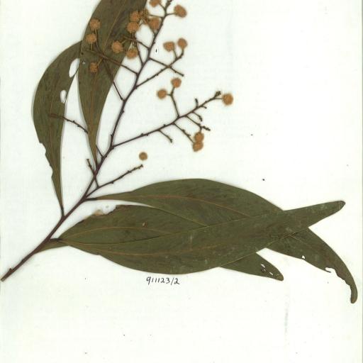 Acacia falciformis scanned herbarium specimen