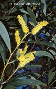 Image of Acacia georgensis - Dr George Mountain Wattle