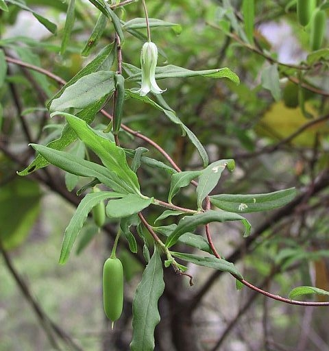 Image courtesy Plant Database Billardiera_scandens