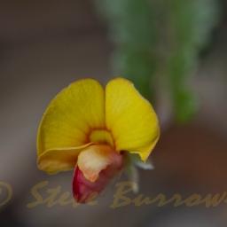 Bossiaeabuxifolia01ac