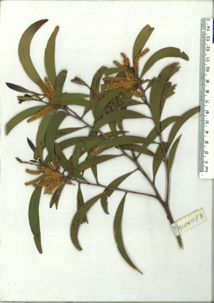 Scanned herbarium specimen of Acacia georgensis