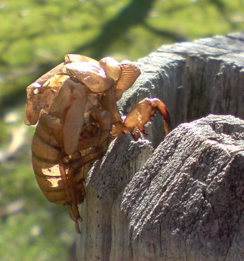 Cicada exosketeton Bournda NP