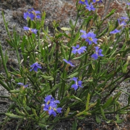 Image courtesy of Plant Database Dampiera_stricta