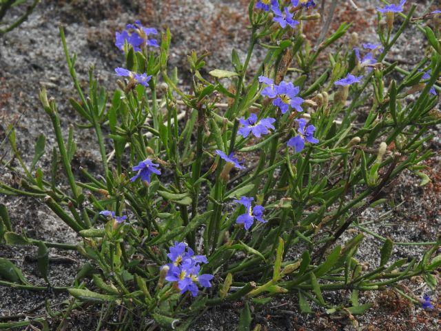 Image courtesy of Plant Database Dampiera_stricta