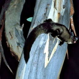 Yellow Bellied Glider on a tree
