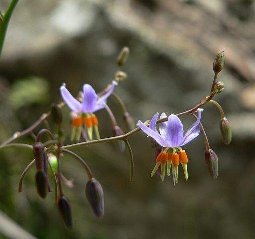 Image courtesy of Plant Database Dianella lognifolia