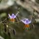 Image courtesy of Plant Database Dianella lognifolia