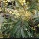 Photo courtesy PlantNET, T.M. Tame ©The Royal Botanic Gardens & Domain Trust