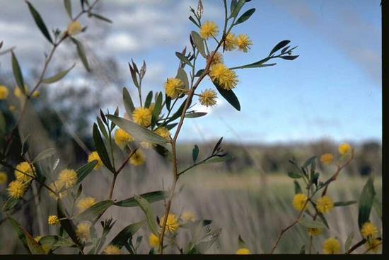 Courtesy of PlantNET Photo T.M. Tame ©The Royal Botanic Gardens & Domain Trust