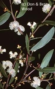 Acacia myrtifolia courtesy of Don and Betty Wood