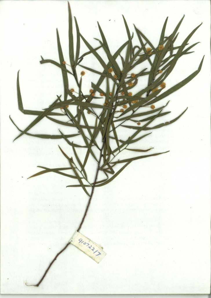 Scanned image of Acacia subporosa