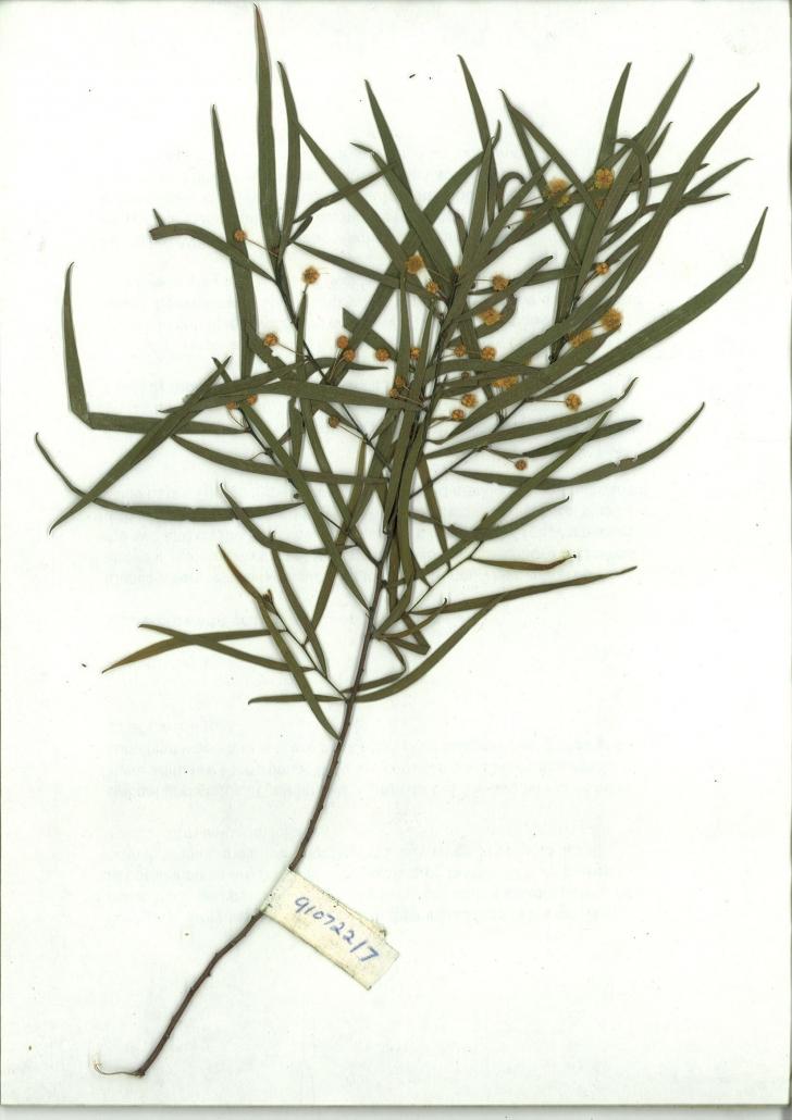 Scanned image of Acacia subporosa