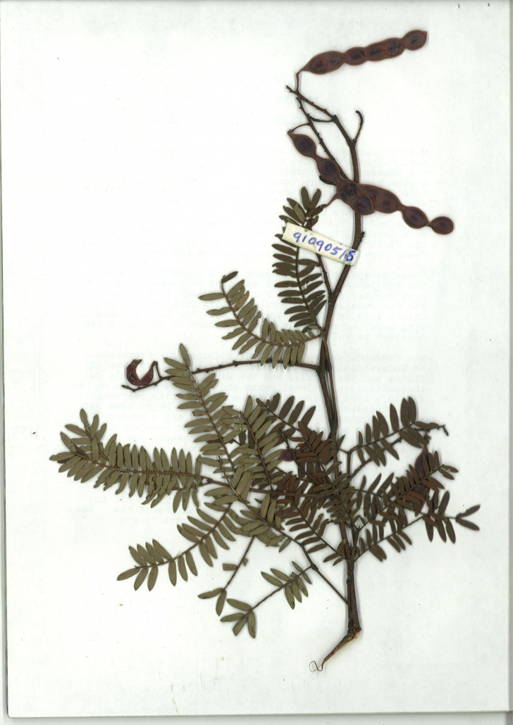 Scanned image of Acacia terminalis subsp. angustifolia