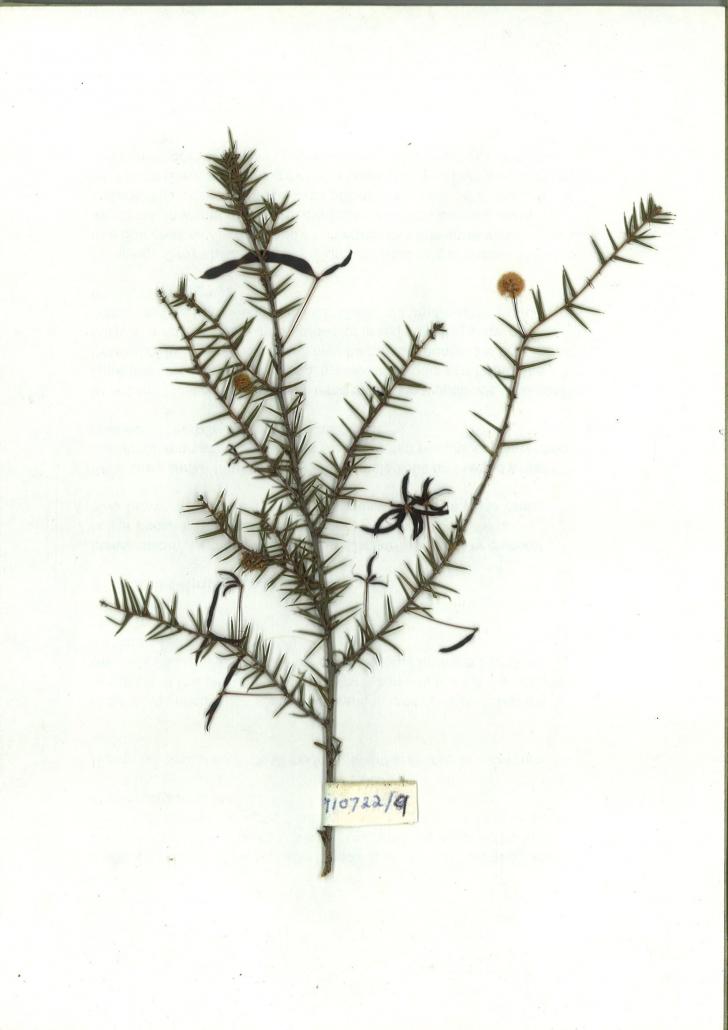 Scanned image Acacia ulicifolia