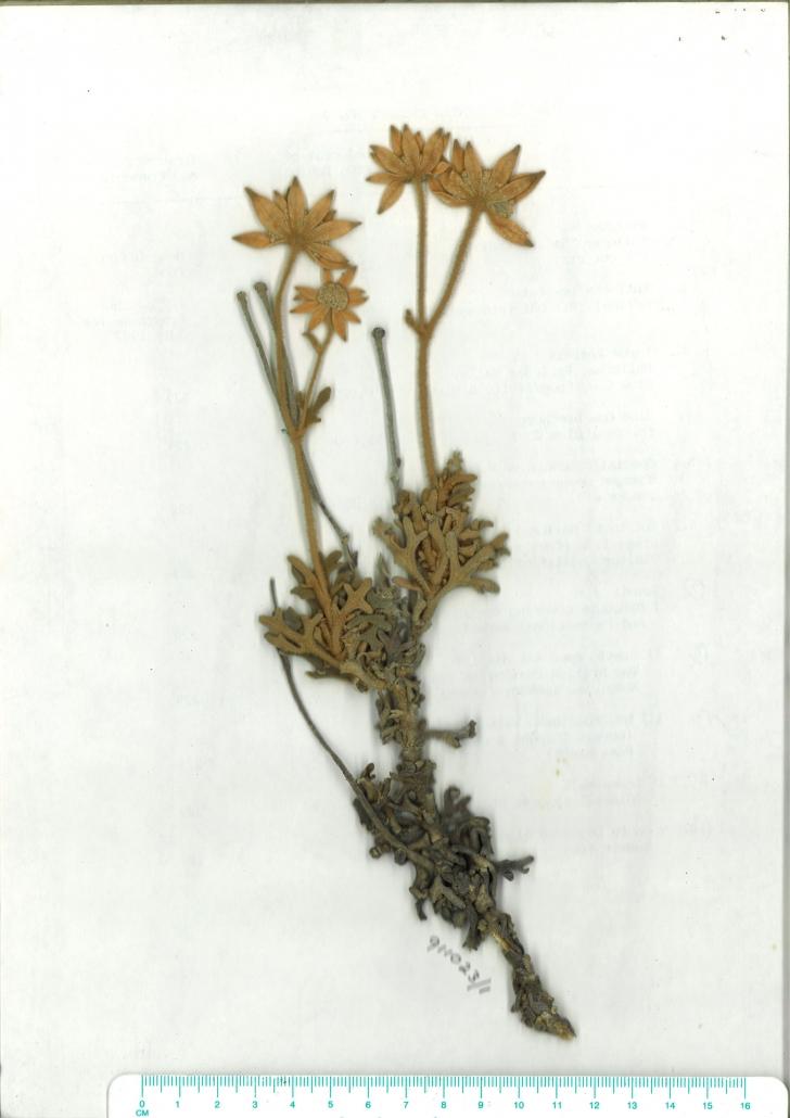 Scanned herbarium image
