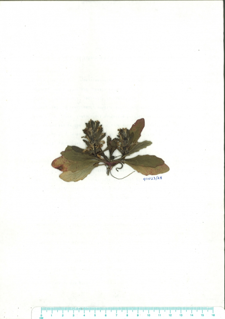 Scanned image Ajuga australis