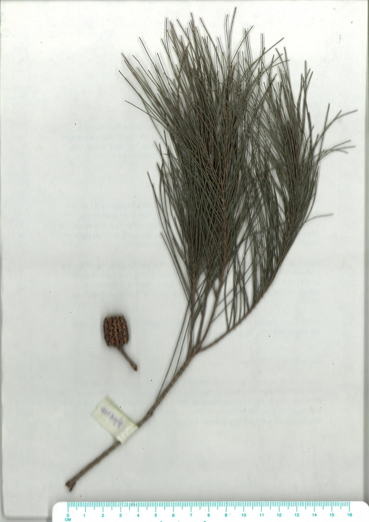 Scanned image of Allocasuarina littoralis