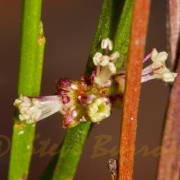 Image courtesy of Steve Burrows Amperea xiphoclada var. xiphoclada