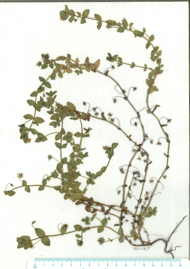 Scanned image of Herbarium image of Anagallis arvensis