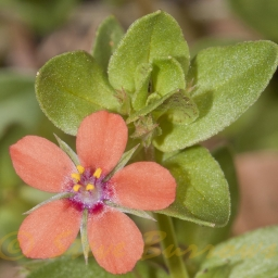 Image courtesy of Steve Burrows Anagallis arvensis