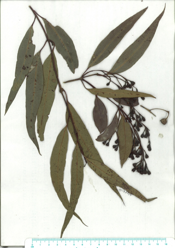 Scanned image of herbarium image of Angophora floribunda