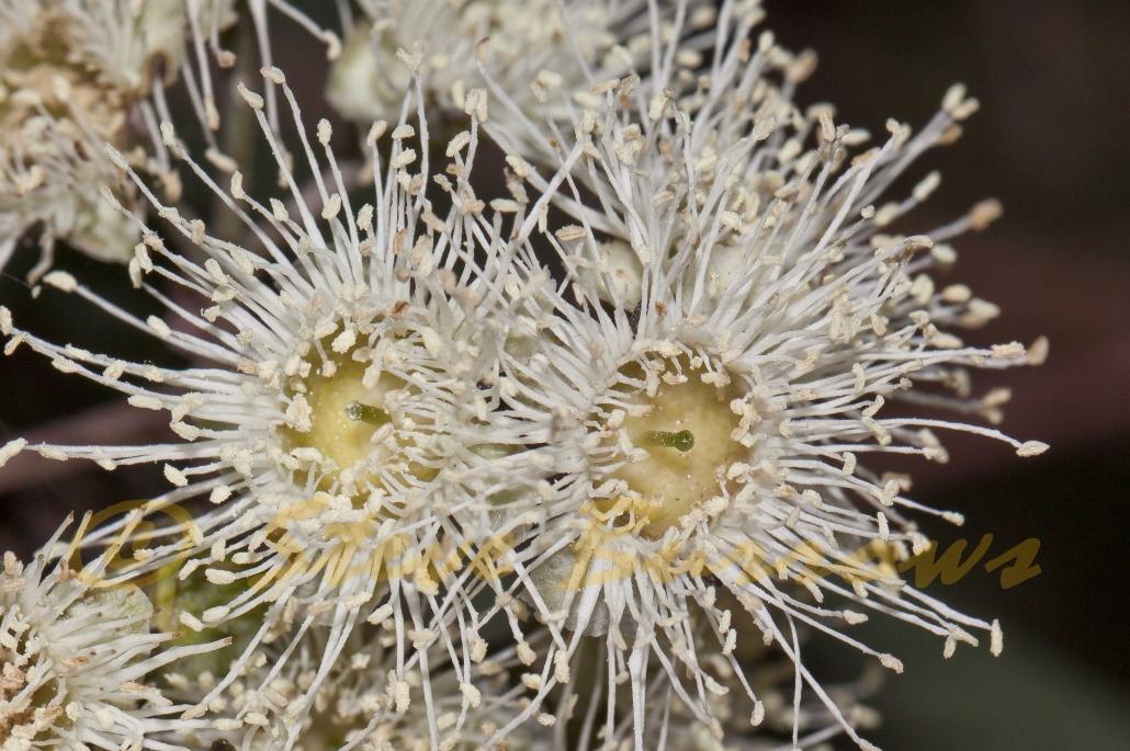 Image courtesy of Steve Burrows Angophora floribunda