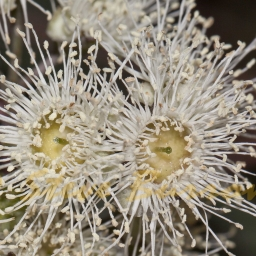 Image courtesy of Steve Burrows Angophora floribunda
