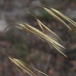 Image courtesy of Plant Database JDonne Anisopogon avenaceus