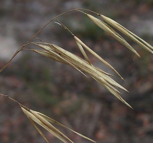 Image courtesy of Plant Database JDonne Anisopogon avenaceus