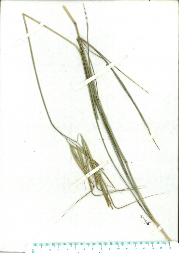 Scanned image of herbaruim image of Anisopogon avenaceus