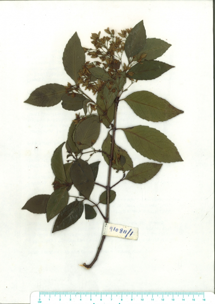 Scanned image of herbarium image of Aphanopetalum resinosum
