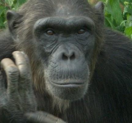 Asega image courtesy of the Chimpanzee Sanctuary and Wildlife Conservation Trust