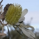 Image Courtesy of Steve Burrows Banksia integrifolia