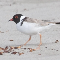 Image of Hooded Plover on beach courtesy of Dave Gallan