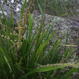 Image courtesy of Plant Database Lomandra longifolia