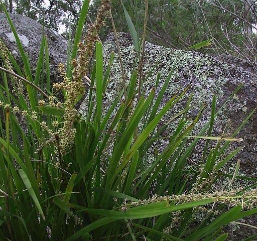 Image courtesy of Plant Database Lomandra longifolia