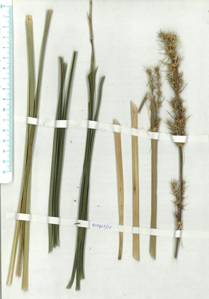 Scanned image of Herbarium image of Lomandra longifolia