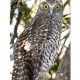 Image of Powerful Owl courtesy of Dave Gallan