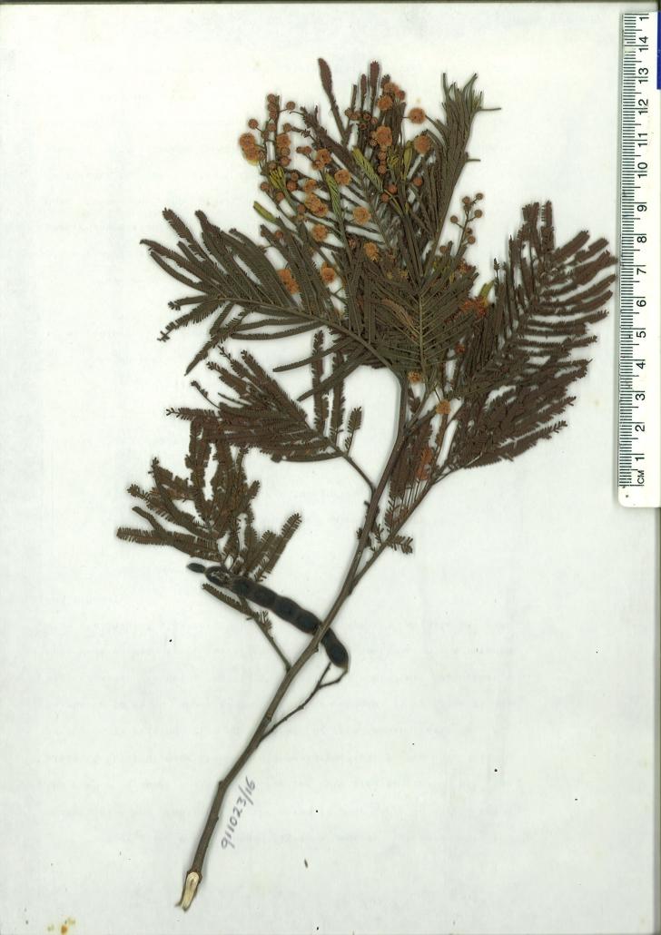 Scanned herbarium specimen of Acacia mearnsii