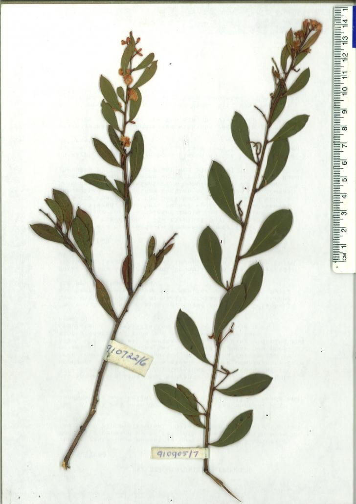 Scanned herbarium image of Acacia myrtifolia