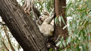 Koala photo by Dave Gallan