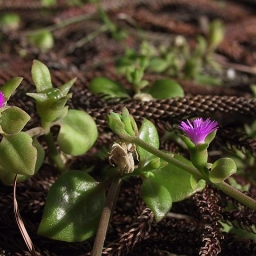 Photo courtesy of Plant Database Aptenia cordifolia_heartleaf ice plant