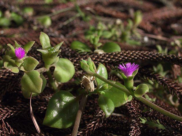 Photo courtesy of Plant Database Aptenia cordifolia_heartleaf ice plant