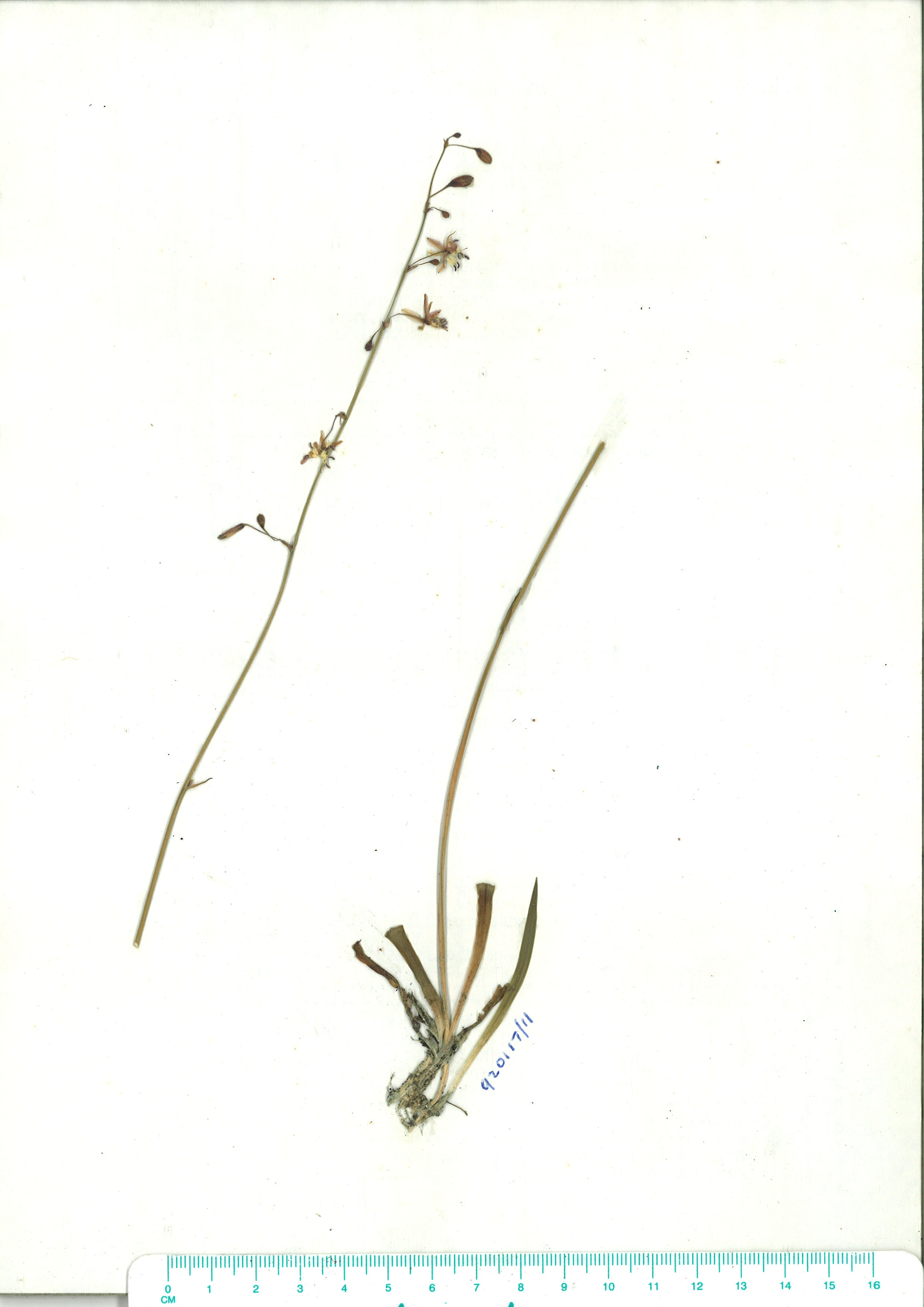 Scanned image of herbarium image of Arthropodium milleflorum