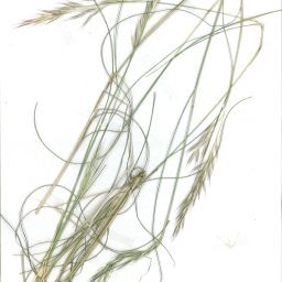 Scanned image of herbarium image of Austrodanthonia tenuior
