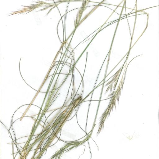 Scanned image of herbarium image of Austrodanthonia tenuior
