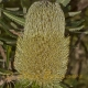 Image courtesy of Steve Burrows Banksia serrata