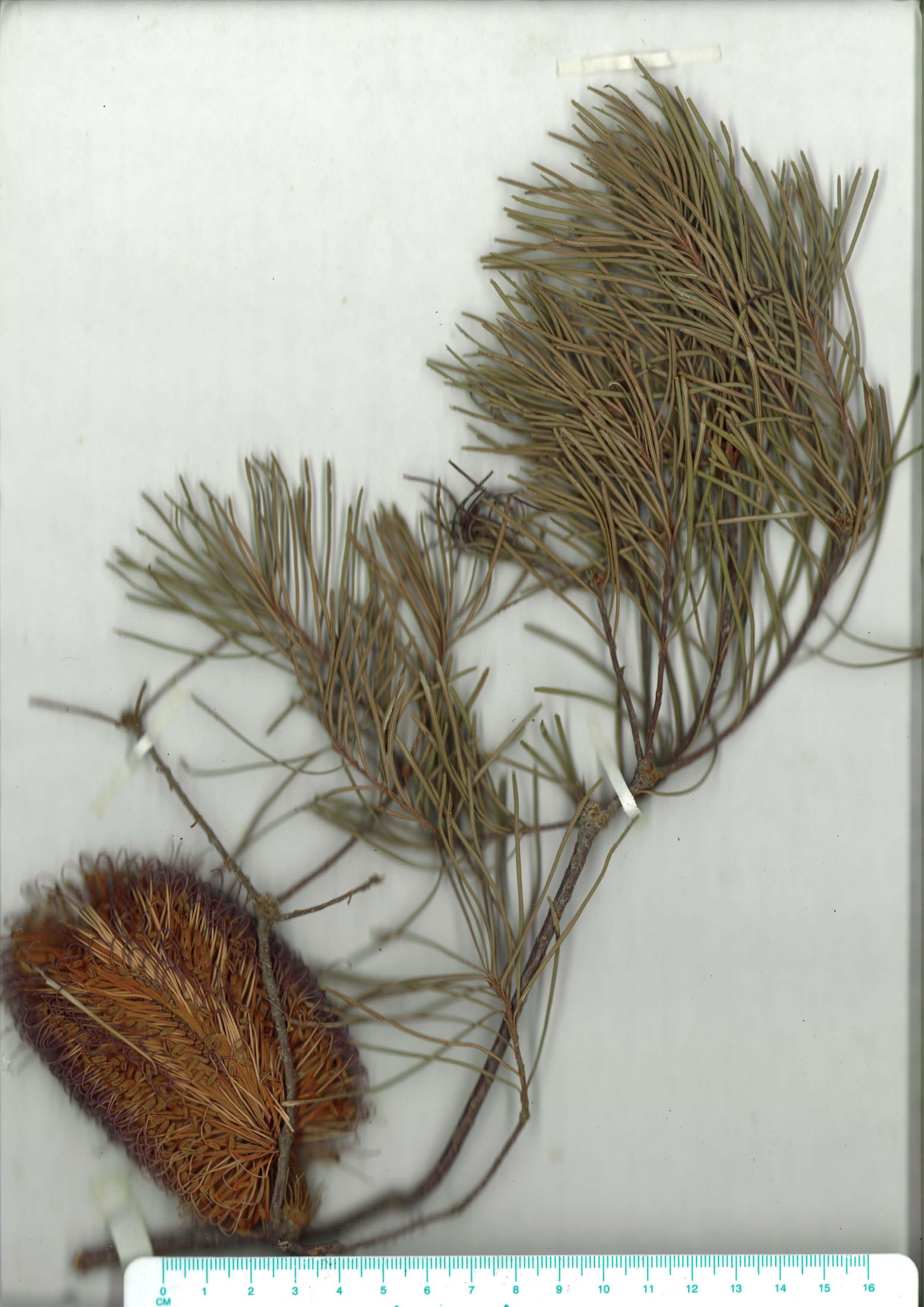 Scanned image of herbarium image of Banksia spinulosavar.spinulosa