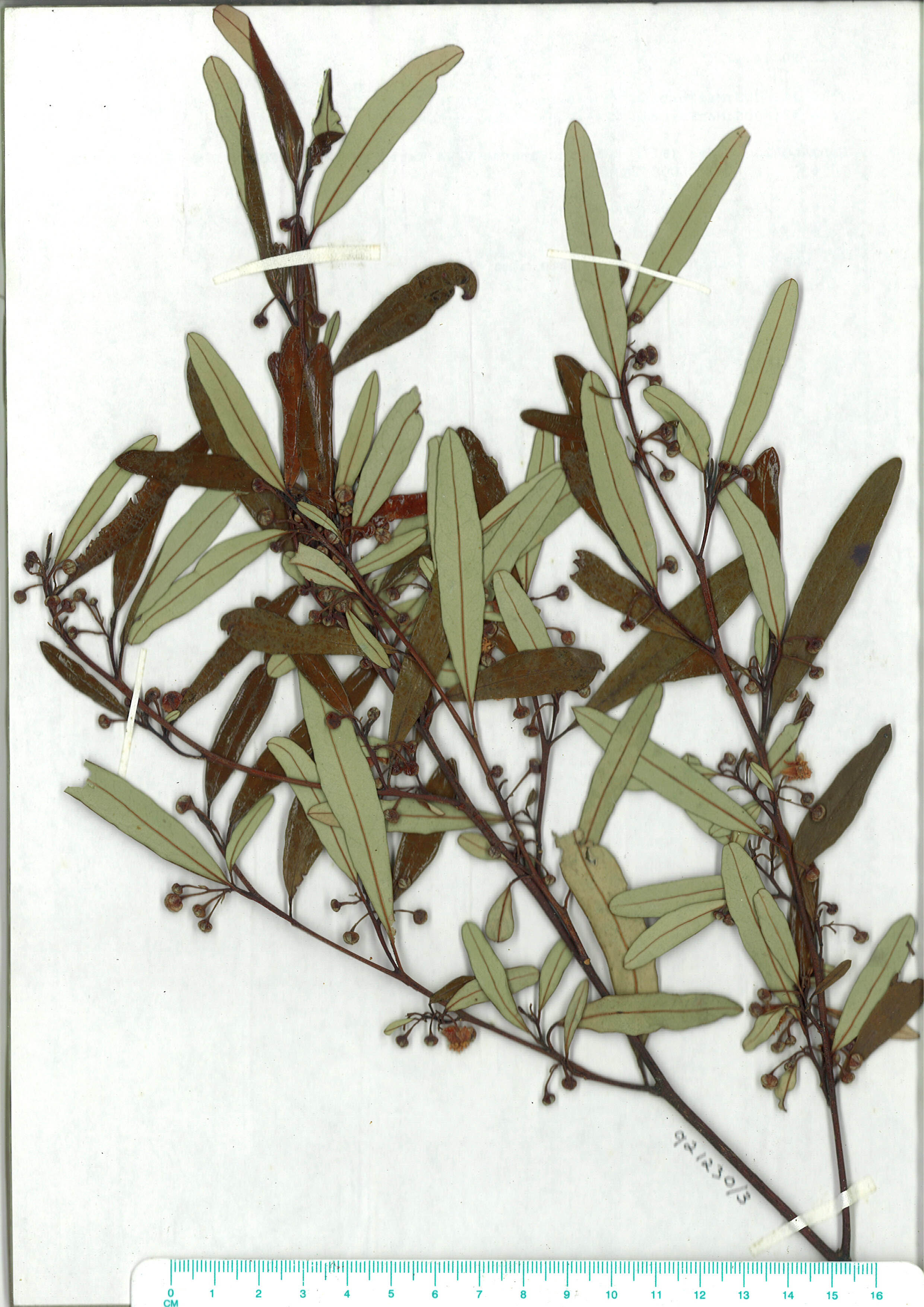 Scanned image of herbarium image of Beyeria lasiocarpa